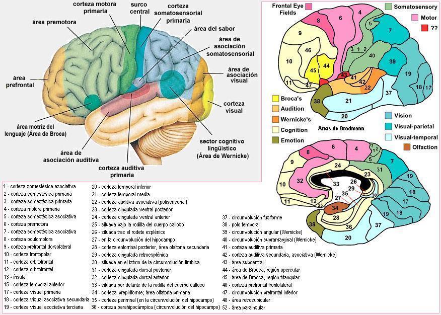 Magnífico La Anatomía Del Cerebro Y Sus Funciones Ornamento ...